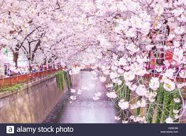 cherry blossoms images cherry blossoms at meguro river tokyo japan stock photo royalty