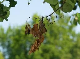 blight on ornamental pear east gardening