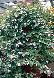 perennial vines vines climbers twiners u of i extension