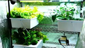 Hydroponics Vegetable Gardening by New Hydroponic Grow Tent Setup Cucumber Plants Spreading Youtube