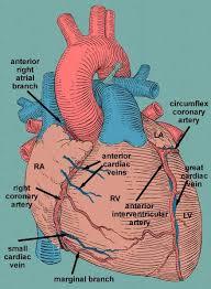 External Heart Anatomy Best 25 Heart Anatomy Ideas On Pinterest Diagram Of The Heart