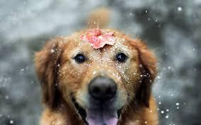 animals snow leaves fall labrador retriever wallpapers hd