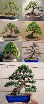 portulacaria afra aka jade bonsai bonsai trees bonsai styles