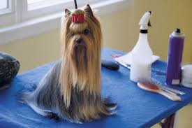 silky terrier hair cut how to groom a yorkshire terrier my friend is a dog