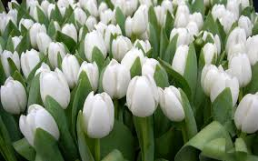 white tulips beautiful white tulips wallpaper flower wallpapers 53777