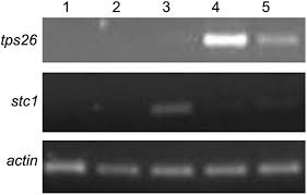 characterization of the monoterpene synthase gene tps26 the