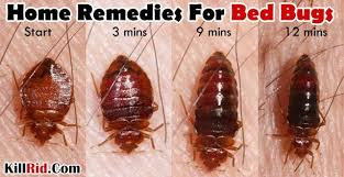 how can you get rid of bed bugs home remedies for bed bugs how to get rid of bed bugs naturally