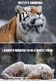 Tiger Meme - tiger meme by shismaan memedroid