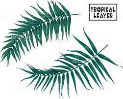 tropical branches leaves on white background palm tree leaves