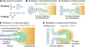 patterned cell and matrix dynamics in branching morphogenesis jcb
