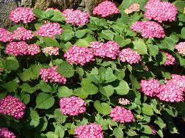 Hydrangea by Hydrangea Popular But Confusing Indiana Yard And Garden
