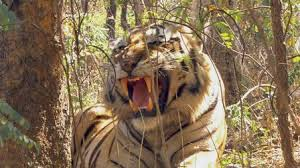 tiger in the jungle netflix