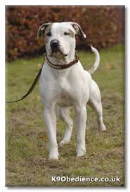 american pitbull terrier in uk american bulldog breed u0026 training information