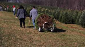 christmas tree selling season at pine valley farms in sykesville
