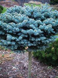 buy spruce trees the tree center