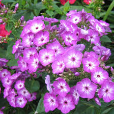 phlox flower volcano phlox purple finegardening