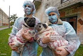 Pug Halloween Costume Pugs Dressed Halloween Costumes Photos Images Getty Images