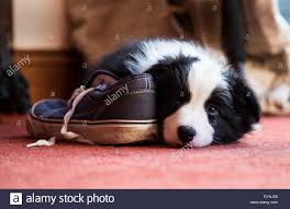 bearded collie x border collie puppies for sale collie puppy stock photos u0026 collie puppy stock images alamy