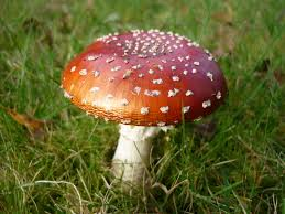 a gallery of lawn mushrooms lawnscience lawn care blog