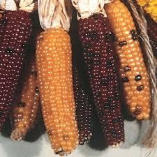 ornamental corn indian fingers harris seeds