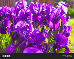 Image Of Spring Flowers by Spring Flower Background Purple Early Spring Iris Flower Under