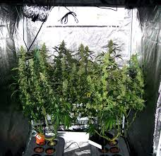 Beginners How To Grow Just by Complete Guide To Cannabis Plant Training Grow Weed Easy