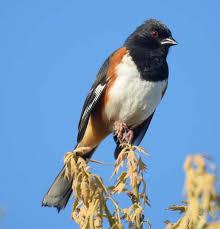 North Carolina birds images Birds of the world towhees jpg