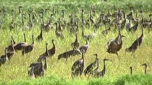 sandhill cranes fall migration in alaska youtube