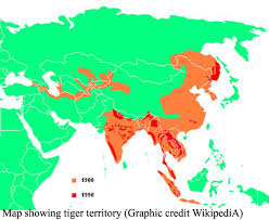 tiger s origin tigers and other cats