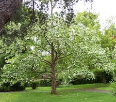 handkerchief ornamental trees for sale at trees direct