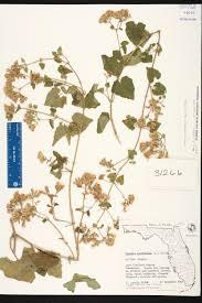 Fragrant Plants Florida - mikania cordifolia species page isb atlas of florida plants