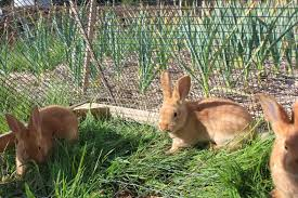all wire rabbit u201ctractor u201d for safely pastured rabbits pocket pause