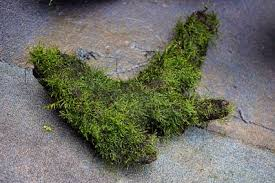 how to grow your own moss carpet u2014 practical fishkeeping magazine