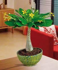 buy house plants now hawaiian palm bakker com