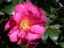 camellia blossoms brighten the winter garden houston chronicle