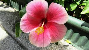 which state has a hibiscus hibiscus the story of malaysia u0027s national flower expatgo