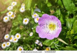 Pink Primrose Flower - narrowleaf evening primrose stock images royalty free images