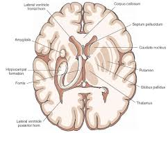 Thalamus Part Of The Brain Overview Of The Central Nervous System Gross Anatomy Of The Brain