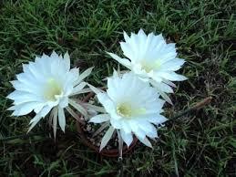 Fragrant Night Blooming Plants - 11 best night blooming flowers images on pinterest blooming