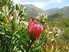 File:Cape Winelands Shale Fynbos - South Africa vegetation types ...