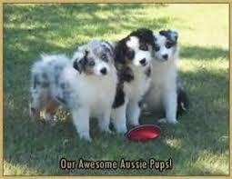 australian shepherd joliet the 47 best images about awwww on pinterest kinds of dogs