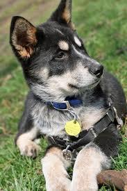 australian shepherd eyebrows kaia the husky mix puppies daily puppy