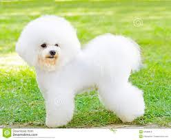 Small Beautiful Pics Bichon Frise Dog Stock Photography Image 34568812