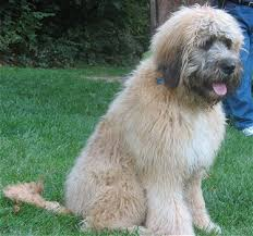 afghan hound poodle cross saint berdoodle information pictures reviews and q u0026a