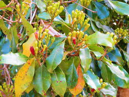 Cloves 7 Expert Tips For Growing Cloves Sproutabl
