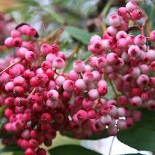 sorbus hupehensis pink pagoda buy hupeh rowan trees