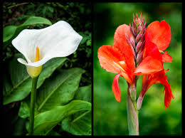 canna lilies calla versus canna lilies