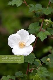 gap gardens rubus beneden ornamental bramble image no