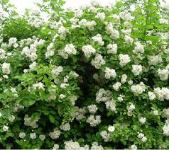 roses china buy 35 seeds white climbing roses china new live fresh seeds
