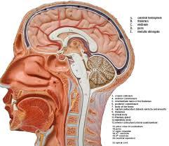3d Head Anatomy 3d Brain Anatomy Model Learning Resources Brain Anatomy Model Eye